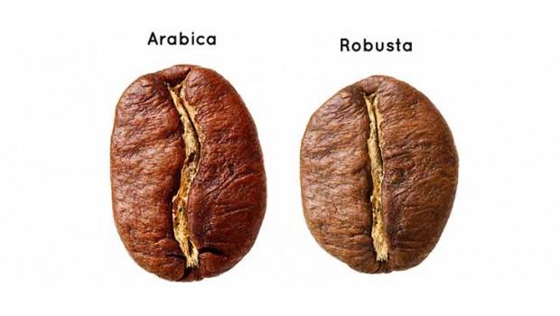 Арабика или робуста – находим 10 отличий